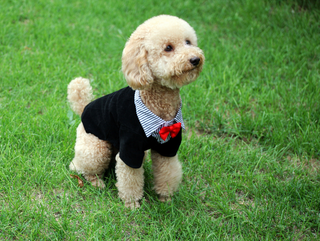 6 Must-Know Facts to Know Before You Adopt Standard Poodles