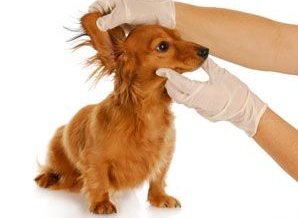 deciphering ear infection dogs